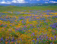 Carrizo Plain National Mounment, CA<br /> Desert field of miniture lupine, goldfields and California poppies with the Caliente Range in the distance