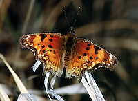MOTHS AND BUTTERFLIES<br /> Questionmark Butterfly<br /> (Polygonia interrogationis)
