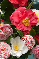 Camellia flowers in mixed varieties, striped, red, white. RL Wheeler = red variety