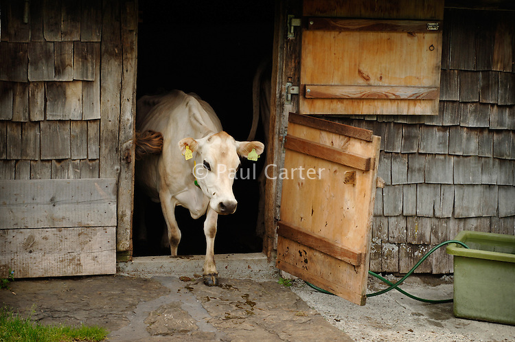 A Jersey cow coming out of the cow shed...Cowherd and cheesemaker spends 100 days in the summer, high up in the mountains, tending cows and pigs and making cheese at Balisalp and Käserstatt near Meiringen, Switzerland.