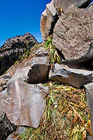 Pika near its haypile--winter food supply.  Subalpine rockpile, Pacific Northwest.  Sept.