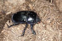 Gemeiner Mistkäfer, Großer Roßkäfer, Rosskäfer auf Pferdeäpfeln, Pferdemist, Geotrupes stercorarius, common dor beetle, Geotrupidae, earth-boring dung beetle, dor beetles
