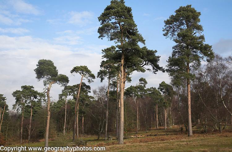 Conifer trees of Suffolk Sandlings heathland in winter, Shottisham, Suffolk, England