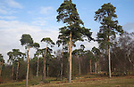 Conifer trees of Suffolk Sandlings heathland in winter, Shottisham, Suffolk, England