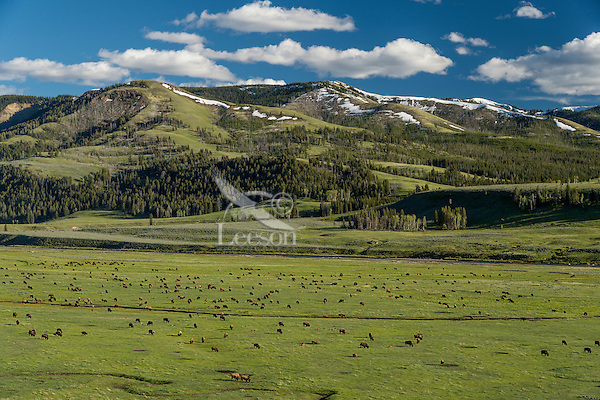Bison herd grazing in Lamar Valley, Yellowstone NP, Wyoming.  June.