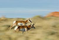 Pronghorn (Antilocapra americana) buck and doe running.  Fall.