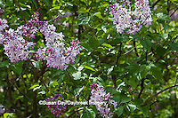 63821-21601 Lilac blooms  (Syringa sp) in spring at Lilacia Park, Lombard, IL