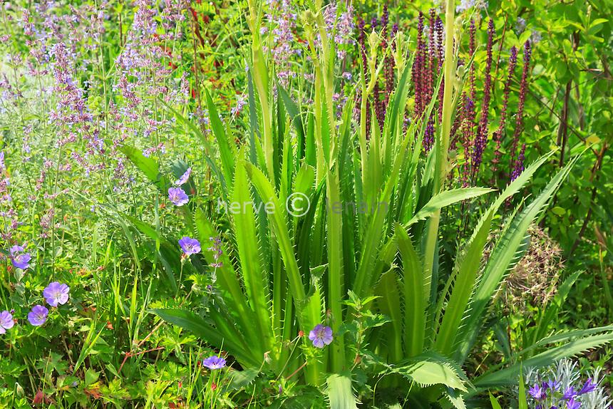 Festival International des Jardins de Chaumont-sur-loire 2012, dans les massifs de vivaces, érygium à feuilles d'agave // Eryngium agavifolium.