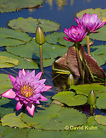 0904-0809  Tropical Water Lilies, Nymphaea spp. © David Kuhn/Dwight Kuhn Photography.
