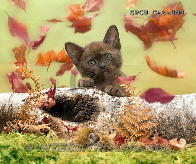 Xavier, ANIMALS, REALISTISCHE TIERE, ANIMALES REALISTICOS, cats, photos+++++,SPCHCATS804,#a#
