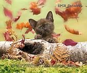 Xavier, ANIMALS, REALISTISCHE TIERE, ANIMALES REALISTICOS, cats, photos+++++,SPCHCATS804,#a#