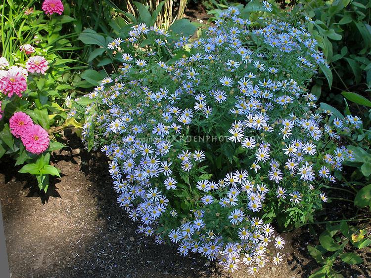 Boltonia Jim Crockett, blue flowered perennial