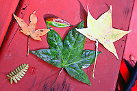 Fallen leaves collected by my kids and laid on a picnic table at Sidaway Sate Park, Savannah, GA, August 13, 2009. (Photo by Brian Cleary/www.bcpix.com)
