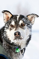 Frosty portrait of Jason Barron's team dog *Clumber* after arriving at the village checkpoint of Ruby during the 2010 Iditarod, Interior Alaska