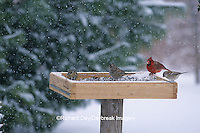 00585-01010  White-crowned Sparrows, American Tree Sparrow &  Northern Cardinal male at tray feeder in winter Marion Co.  IL