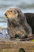 Alaskan or Northern Sea Otter (Enhydra lutris) on dock