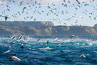 bird, Cape Gannet, Morus capensis, in feeding frenzy on a bait ball during the sardine run, common dolphins, Delphinus capensis, also feeding on the bait ball in the foreground, the red marker indicates a group of divers enjoying the spectacle, Port St. Johns, Wildcoast, Transkei, South Africa, Indian Ocean