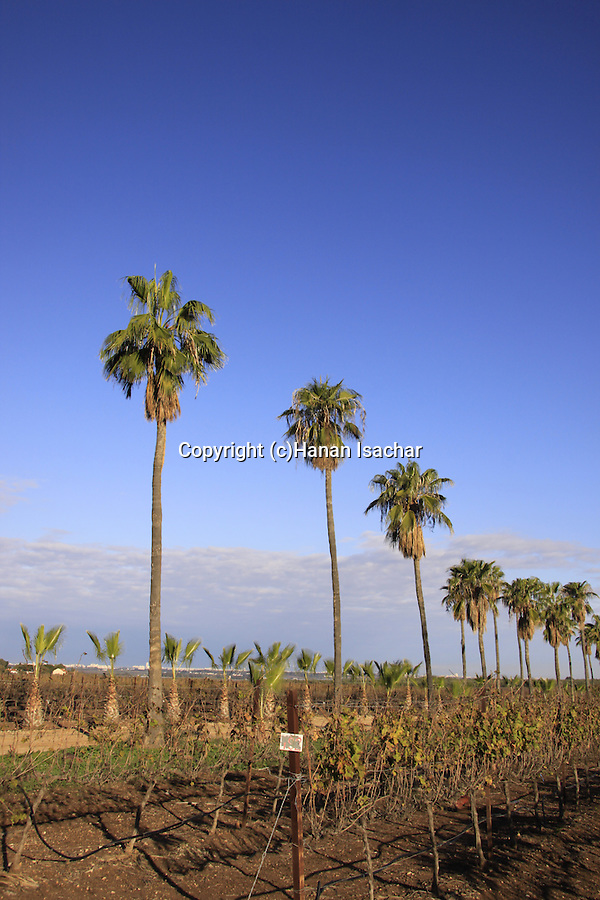 Israel, Shephelah, Washington Palms (Washingtonia robusta) near Hulda forest