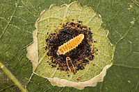 Leaf-blotch Miner larva; Cameraria sp. ; moth larva inside white oak leaf- leaf opened to see inside; PA, Montgomery Co., Ft. Washington State Park,