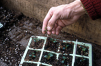 Starting plants from seeds, hand removing excess young seedlings