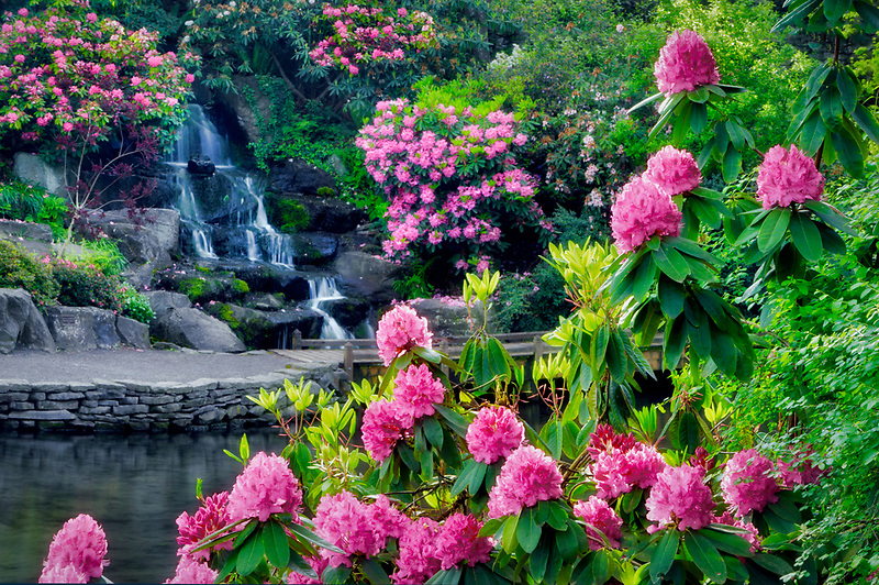 Pond and waterfall with bloominmg rhododendrons at Crystal Gardens. Portland