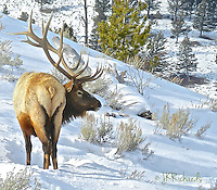 Winter survival, bull elk. Very nice pose and good depth with foreground, middle and back. Room to move and the antler line is repeated by the hill. Very nice!