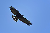 Common Black Hawk in Flight, Big Bend National Park