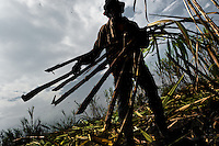 A worker carries sugar cane stalks in a field near Florida, Valle del Cauca, Colombia, 25 May 2012. The Cauca River valley is the booming centre of agriculture and sugar cane cultivation in Colombia. Although the main part of the crop is still refined into a sugar, the global demand of biofuel and ethanol has intensified the sugar cane production in the last years. 85 percent of Colombia's cane crop is still harvested the manual way, employing approximately 30,000 workers. Working six days a week, under harsch labor conditions, the sugar cane cutters earn $4 for every ton of cane they cut, with no access to social benefits due to the tricky system of intermediary contractors and cooperatives.