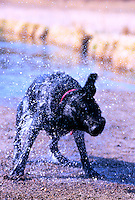 Blurred motion image of a Black Labrador dog shaking water off.
