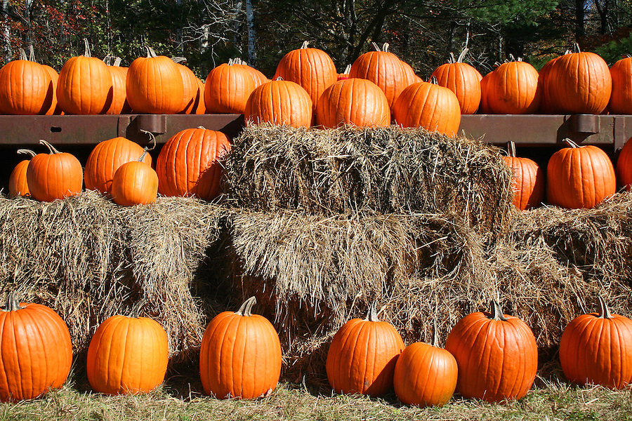 Bright orange pumpkins in rows on hay bales