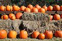 Bright orange pumpkins in rows on hay bales