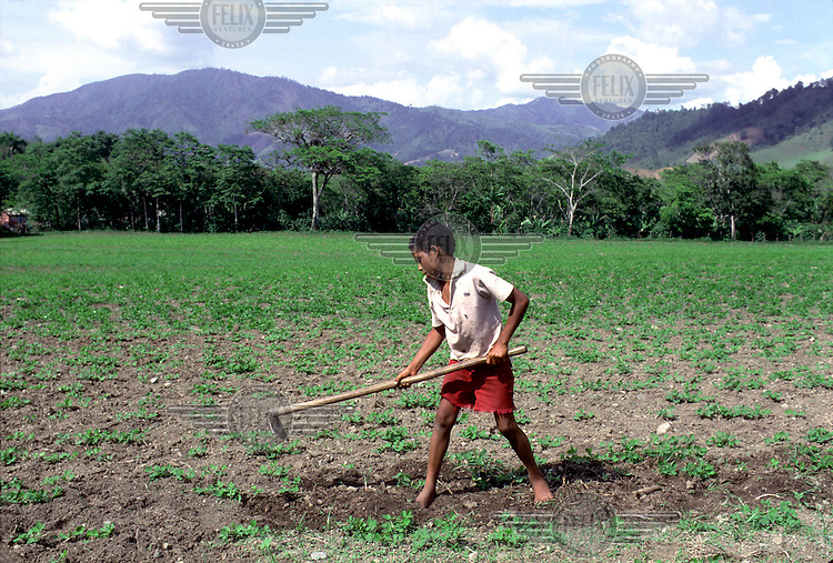 DOMINICAN REPUBLIC.A ten-year-old field labourer hoes a field of beans in San Jose de Ocoa