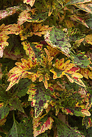 Solenostemon (Coleus) 'Paisley Shawl'