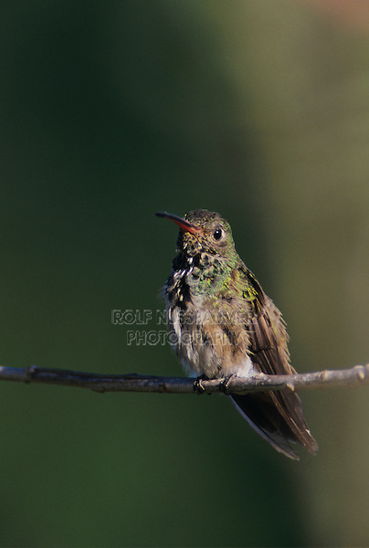 Buff-bellied Hummingbird, Amazilia yucatanenensis,adult, The Inn at Chachalaca Bend, Cameron County, Rio Grande Valley, Texas, USA, May 2004