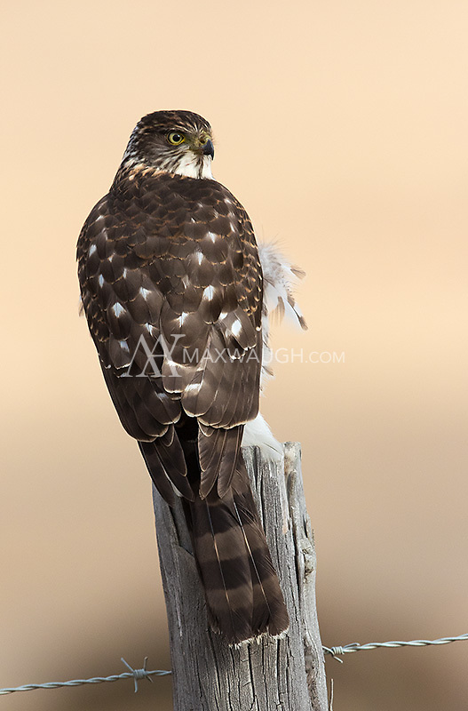 This Chilean hawk was perched near the highway as we headed for home at the end of the trip.