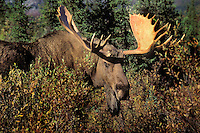 Bull Moose on tundra. (Alces alces).  Boreal forest black spruce and willows..Autumn. Alaska..