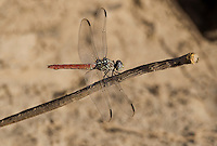 389150034 a wild female roseate skimmer orthemis ferruginea perches on a dead stick near an irrigation canal west of el centro in imperial county california