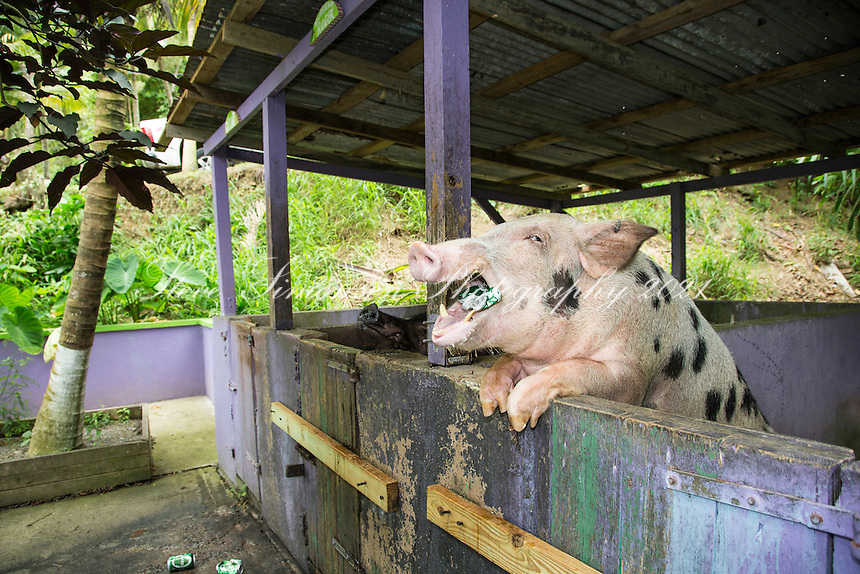 Beer Drinking Pigs<br /> Domino Club<br /> St. Croix<br /> US Virgin Islands