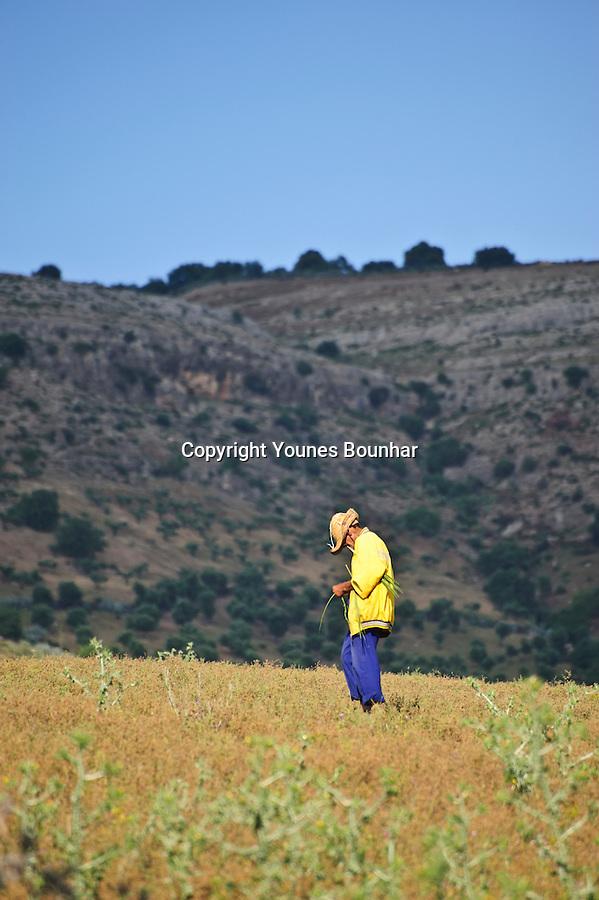Man shepherding his small herd of cows near the village of Moulay Idriss Zerhoun