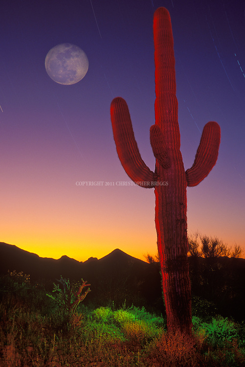 Sunset with moon and Saguaro Cactus (Carnegiea gigantea) in the Sonoran Desert. Saguaro grow 15 to 50 feet tall. Can live to 150 years; takes 75 years to develop a side arm. Trunk expands like an accordion when holding in rainwater. Grow from seed only (no cuttings).  Organ Pipe Cactus National Monument, Est. 4/13/1937, 330,689 acres (133,825 ha). Pima County, AZ.