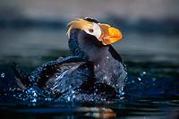 tufted puffin, Fratercula cirrhata, bathing, Southeast Alaska, Pacific Ocean
