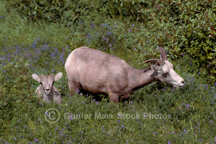 Rocky Mountain Bighorn Sheep - Ewe and Lamb (Ovis canadensis) grazing in Meadow, Jasper National Park, Canadian Rockies, AB, Alberta, Canada