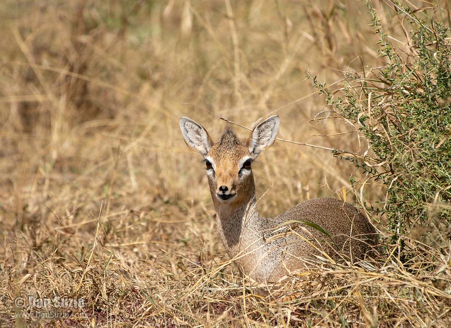 Female Kirk's Dik Dik, Madoqua kirkii, in Serengeti National Park, Tanzania
