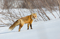Red fox in the snow in Alaska's Arctic.