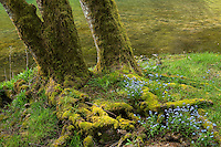 Bigleaf Maple Tree and Forget-Me-Not's along Lake Crescent, Olympic National Park