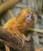 Germany, DEU, Muenster, 2004-Sep-15: A young golden lion tamarin (leontopithecus rosalia), 18 days old, sitting on a branch.
