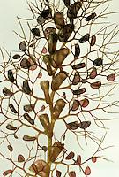 Gewöhnlicher Wasserschlauch, Unterwasserblätter mit Fangbläschen, Urticularia vulgaris, Common Bladderwort, Greater Bladderwort
