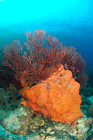 nr0326-D. Deepwater Sea Fan (Iciligorgia schrammi) and Orange Elephant Ear Sponge (Agelas clathrodes). Belize, Caribbean Sea.<br /> Photo Copyright &copy; Brandon Cole. All rights reserved worldwide.  www.brandoncole.com