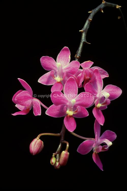 Phalaenopsis equestris 'Crestover' orchid species