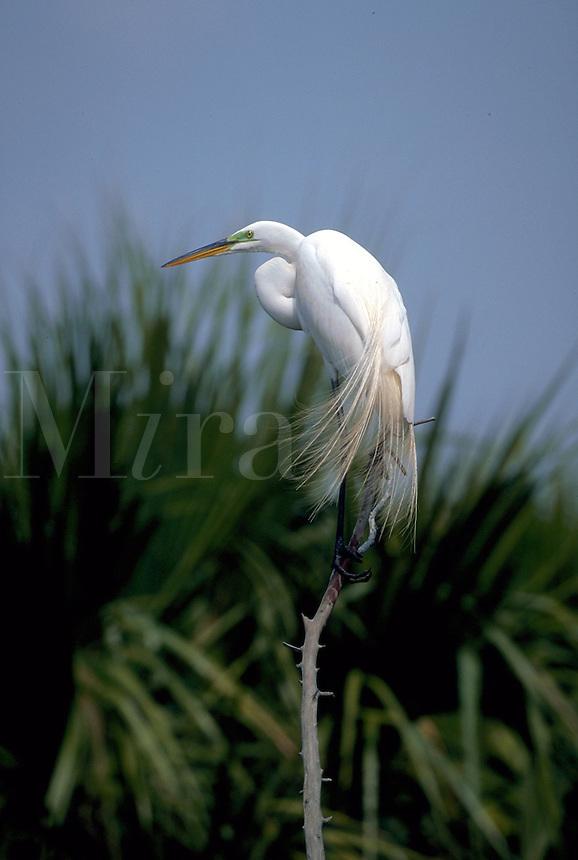 A perching Great Egret.